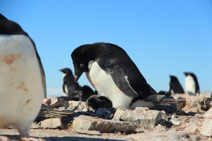 3058706-slide-8-spend-your-day-counting-baby-penguins-in-the-name-of-science