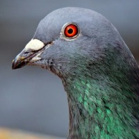 Did you know that a Pigeon could make you a millionaire?