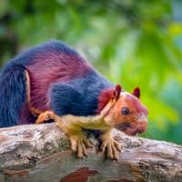 The Colourful Squirrels of Kerala