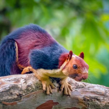 Multicolored Squirrel